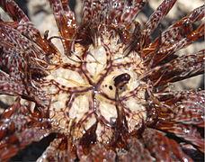 Lamprometra palmata hgsus03