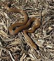 Lamprophis fuliginosus South African Brown House Snake IMG 0620s.jpg