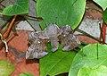 Laothoe-populi Poplar Hawk-moth.jpg