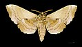 Laothoe populi MHNT ventre.jpg