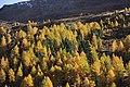 Larch trees in autumn - panoramio (1).jpg