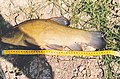 Large tench caught in Holland.jpg