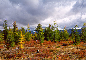 Northeast Siberian taiga - Dahurian larch trees, Kolyma region, arctic northeast Siberia