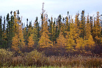 Larix laricina - Tamarack larch in fall colors, with black spruce in the background