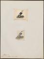 Larus cucullatus - 1700-1880 - Print - Iconographia Zoologica - Special Collections University of Amsterdam - UBA01 IZ17900274.tif