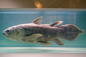 Latimeria - West Indian Ocean coelacanth (Latimeria chalumnae), Natural History Museum of Nantes