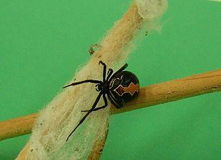 Katipo species of arachnid