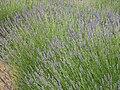 Lavandula latifolia Habito 2010-6-17 DehesaBoyaldePuertollano.jpg