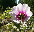 Lavatera maritima Flower BotGardBln0906.jpg