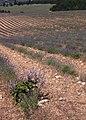Lavendeldyrkning-Sault1.jpg