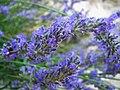 Lavender (127977433).jpeg