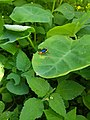Leaf beetle on Colocasia 162351.jpg