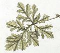 Leaf of Erodium ciconium (L.) L'Hérit., Jacquin et al. 1770, Hortus botanicus vindobonensis, vol 1, plate 18.jpg