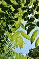 Leaves of Juglans mandshurica(20170527).jpg
