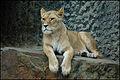 Leeuw (4065241597).jpg