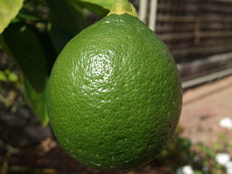 Ripening - This lemon turns yellow as it ripens.