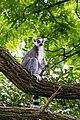 Lemur (36901204066).jpg