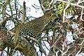 Leopard (Panthera pardus) female resting in a tree ... (51217506398).jpg