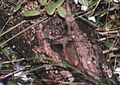 Lepilemur microdon Porter.jpg