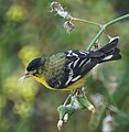 Lesser Goldfinch (7185211202).jpg