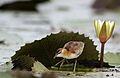 Lesser Jacana, Microparra capensis, Chobe River, Botswana (32095232641).jpg