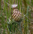 Leuzia conifera - Flickr - S. Rae.jpg