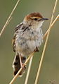 Levaillant's Cisticola, Cisticola tinniens at Rietvlei Nature Reserve, Gauteng, South Africa (15495632087).jpg