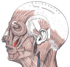 musculus levator anguli oris