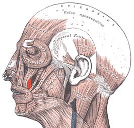 spieren aangezicht
