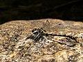 Libelula tigre -♂- Onychogomphus Sp (7762258748).jpg