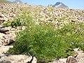 Ligusticum filicinum (6121008302).jpg