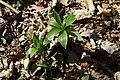 Lilium martagon in national nature reserve Vyšenské kopce in spring 2012 (1).JPG