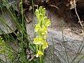 Linaria vulgaris Piazzo 01.jpg