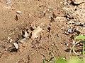 Line blues mud puddling from Savandurga IMG 2398.jpg