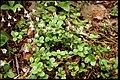 Linnaea borealis 2-eheep (5097281715).jpg