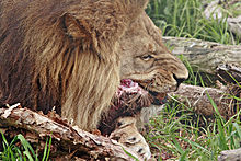 Lion feeding02 - melbourne zoo.jpg