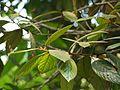 Litsea floribunda (5594994027).jpg