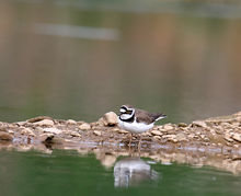 Little-Ringed-Plover3.jpg