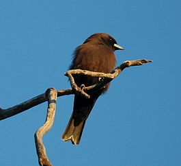 Little Woodswallow Bowra.JPG