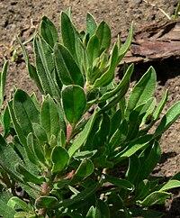 Lobostemon fruticosus 2