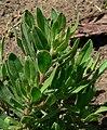 Lobostemon fruticosus 2.jpg