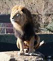Loewe Panthera leo Tierpark Hellabrunn-27.jpg