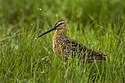 Long-billed Dowitcher - Malheur NWR - Oregon.jpg