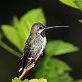Long-billed startthroat (Heliomaster longirostris longirostris).jpg