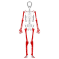 Long bones - posterior view.png