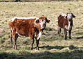Longhorn Cattle near Woolhope - geograph.org.uk - 722590.jpg
