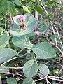 Lonicera caprifolium sl4.jpg