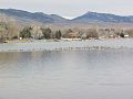 Lots of Geese - Loveland, CO (11655363353).jpg