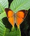 Loxura atymnus - Yamfly 11.JPG