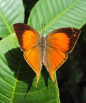 Loxura atymnus - Image: Loxura atymnus Yamfly 11